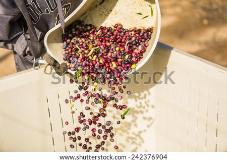 Color freeze action shot of multi colored olives being poured from a harvesting bucket into a large container at an olive harvest in Paso Robles, California