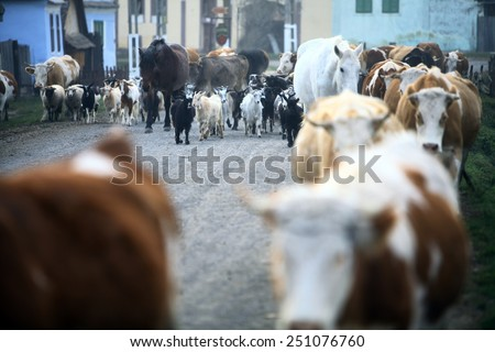 Color horizontal shot of some cows on a village road. - stock photo