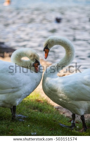 Color image of two swans moving their necks.