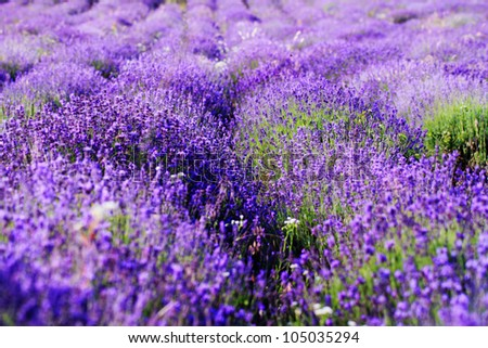 color lavender field. Natural and herbal landscape - stock photo