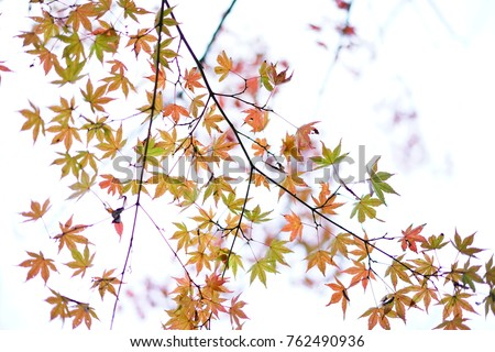 https://thumb1.shutterstock.com/display_pic_with_logo/167494286/762490936/stock-photo-color-leaves-in-japan-762490936.jpg