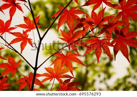https://thumb1.shutterstock.com/display_pic_with_logo/167494286/695576293/stock-photo-color-leaves-in-kyoto-695576293.jpg