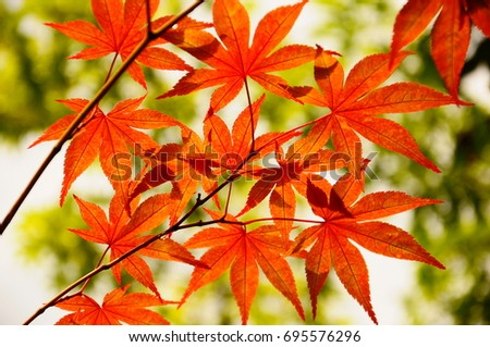 https://thumb1.shutterstock.com/display_pic_with_logo/167494286/695576296/stock-photo-color-leaves-in-kyoto-695576296.jpg