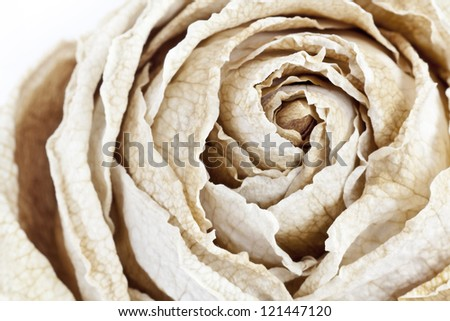 Color macro shot of a dry white rose - stock photo