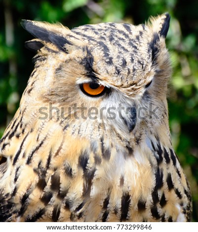 Color Outdoor Wildlife Animal Portrait Of A Single Isolated Owl On Natural Background Symbolic Figurative