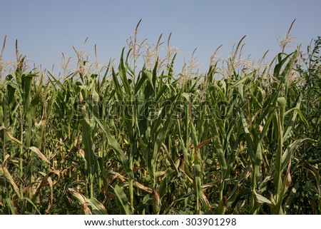 Color picture of a corn field in the sun - stock photo