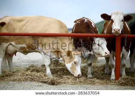 Color picture of cows in a barn