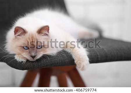Color-point cat lying on black chair in living room, close up - stock photo