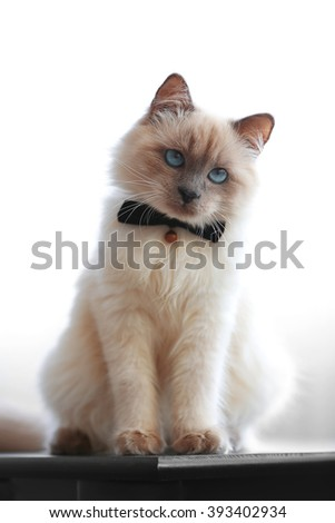 Color-point cat with bow tie sitting on black table in living room, close up - stock photo