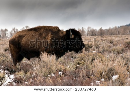 Color version of a  profile of an aging bison in Teton National Park - stock photo