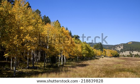 Colorado Aspen Stand in Field with Blue Sky - stock photo