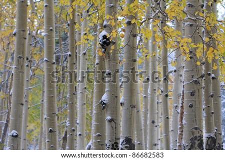 Colorado aspens - stock photo