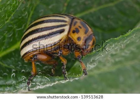 colorado beetle (Leptinotarsa decemlineata) on green leaf of potatoes - stock photo