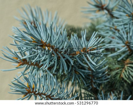Colorado blue spruce (Picea pungens) is a species of spruce tree. It is native to the Rocky Mountains of the United States.