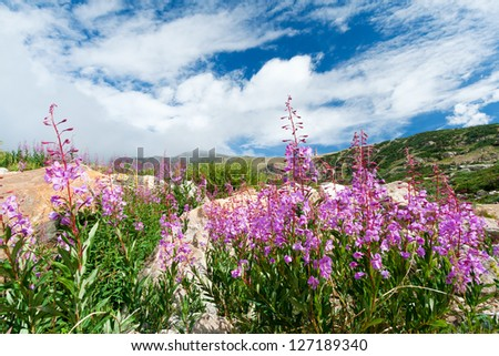 Colorado lupine mountain wildflowers blooming in the summer - stock photo
