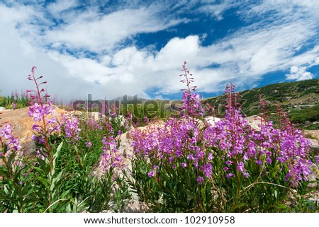 Colorado mountain wildflowers blooming in the summer - stock photo