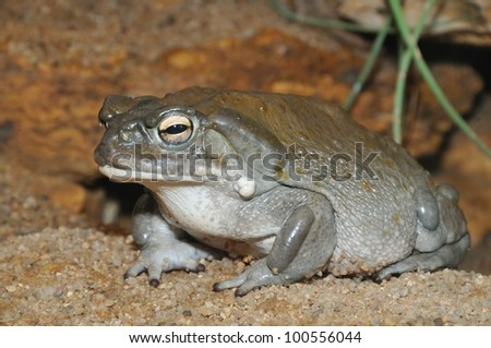 Colorado toad with psycho eyes - stock photo