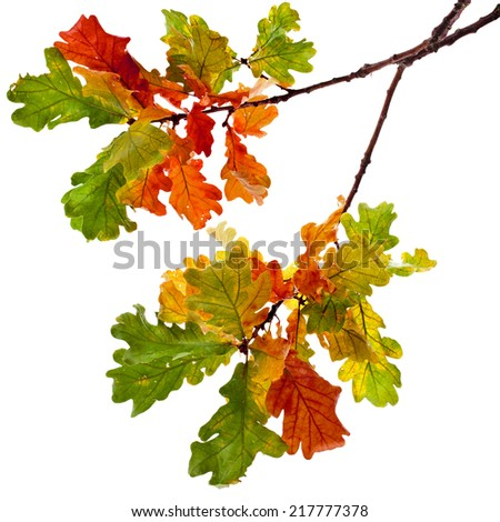 Colored Autumnal Oak branch isolated on white background - stock photo