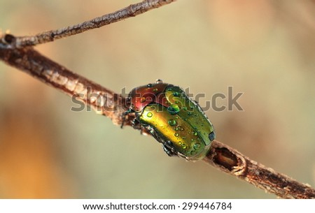 Colored beetle with dew drops