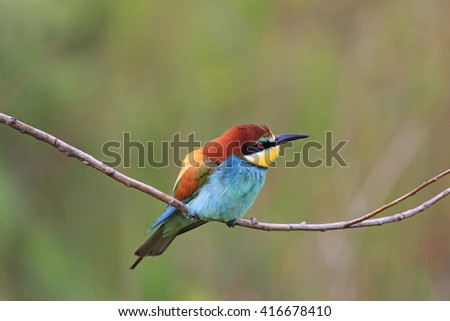 colored bird sitting on a branch and looking at the sky, bee eater