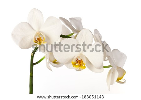 Colored cultivated orchid isolated on white background - ideal greeting card