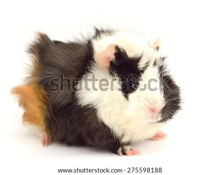 colored guinea pig on a white background