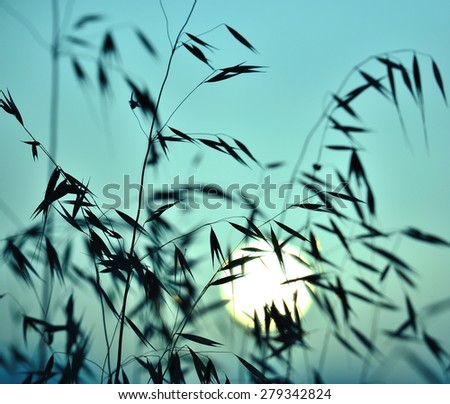 Colored image of oat plants at sunrise - stock photo