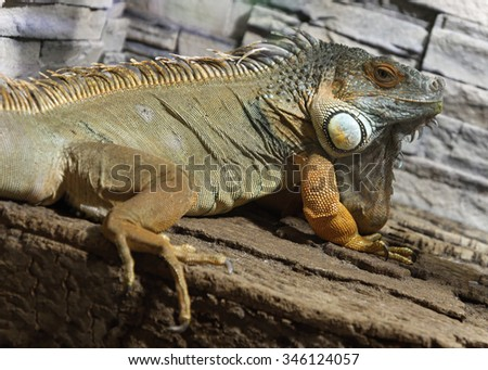 Colored male Green Iguana on the wall