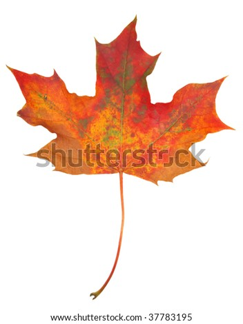 Colored maple leaf isolated on white