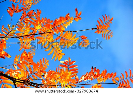 Colored orange rowan leaves on the background of blue October sky in sunny day - autumn natural background - stock photo