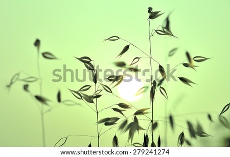 Colored photographic image of oats at sunrise - stock photo