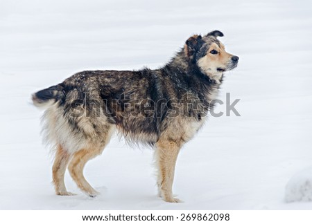 Colored stray dog in the snow, close up. - stock photo