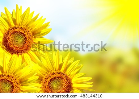 colored sunflower field in summer. yellow flowers.