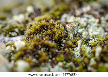 Colorful abstract natural background of green moss and lichen family cladonia growing on rocks in the mountains with drops of morning dew - stock photo