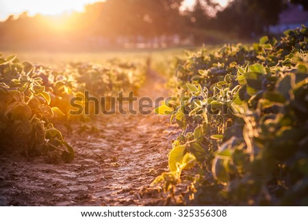 Colorful agriculture field at sunset. - stock photo