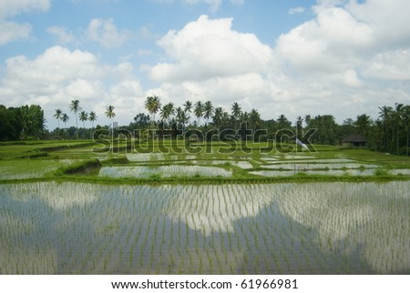 Colorful and amazing rice fields - central bali, indonesia