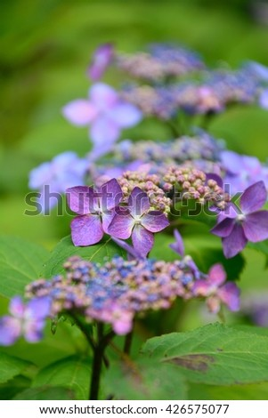 Colorful and beautiful flowers of Hydrangea serrata in Japan