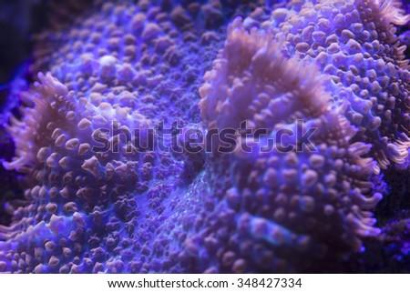 Colorful and delicate mushroom coral in saltwater aquarium reef  - stock photo