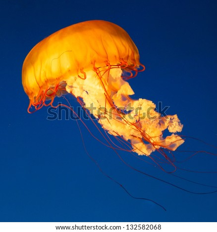 Colorful and glowing sea nettle jellyfish swimming in the deep blue sea - stock photo