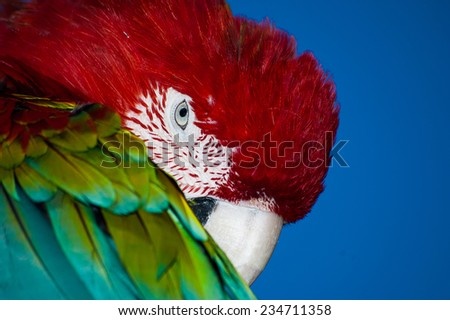 Colorful Ara parrot - stock photo