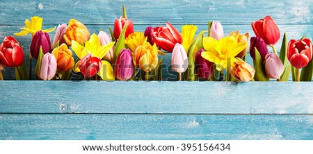 Colorful arrangement of fresh spring flowers with tulips and narcissus symbolic of the season in a gap between rustic blue wooden boards with copy space, panoramic banner or wide angle format - stock photo