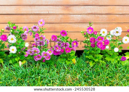 Colorful Asters flower in growing on grass in the garden - stock photo