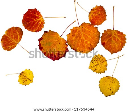 colorful autumn aspen leaves isolated  on white background - stock photo