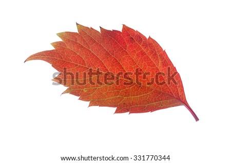 Colorful autumn leaf isolated on white - stock photo