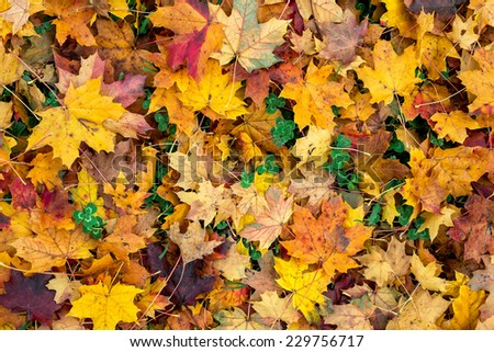 Colorful autumn leaves and trefoil-clover