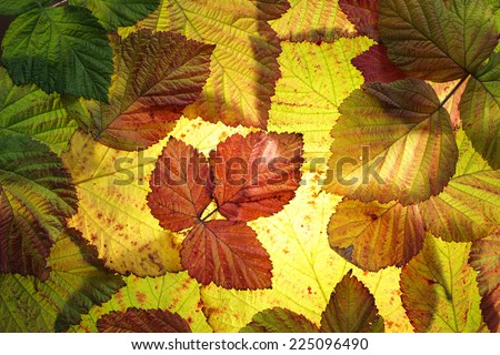 Colorful autumn leaves background. Backlit, studio shot.  - stock photo