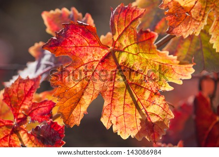 Colorful autumn leaves  in Napa Valley, Northern California - stock photo