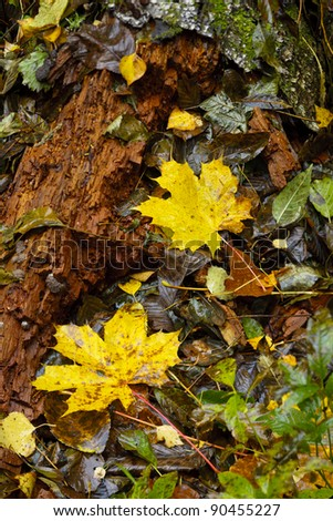 Colorful autumn leaves in the forest. - stock photo
