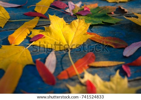 Colorful autumn leaves on blue scuffed boards. Maple leaves on a blue background as an autumn concept. Sun rays on autumn leaves.