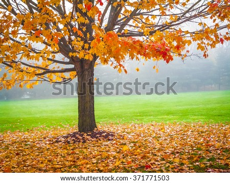 Colorful Autumn leaves on this Maple tree on a foggy early morning in Central New Jersey.